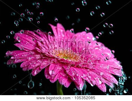 Pink gerbera flower with the rain drops