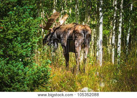 Moose In The Aspen Trees Colorado