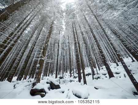 Mysterious trees in winter forest