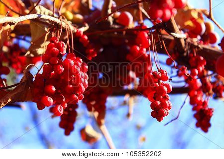 Branch Of Red Ripe Schisandra