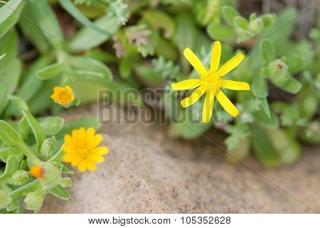 Yellow Calendula Arvensis Flower