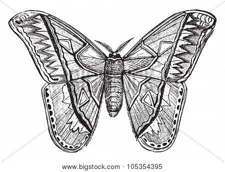 Attacus, vintage engraved illustration.