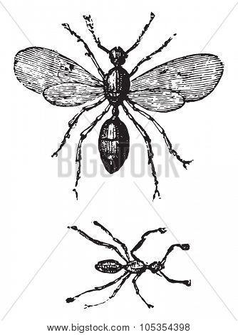 Ants, vintage engraved illustration.