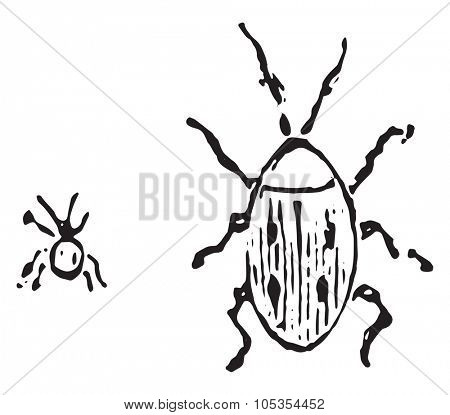 Larder beetle, vintage engraved illustration.