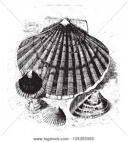 Food mollusk, two-thirds reduction, vintage engraved illustration. Magasin Pittoresque 1867.