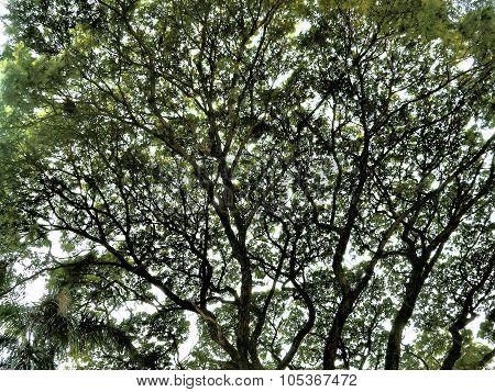 Background Big Tree