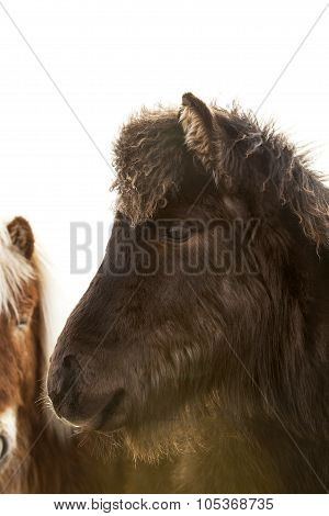 Closeup Of A Young Icelandic Foal With Curly Mane