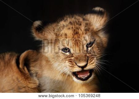 Alert small lion cub close up