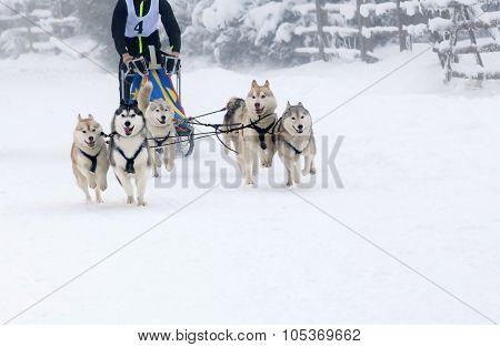 Dog sled race