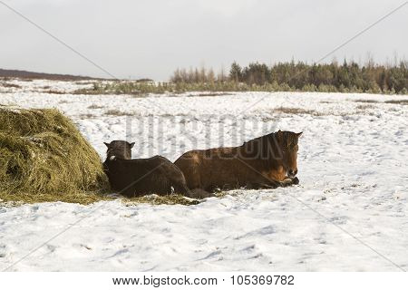 Two Icelandic Horses In Winter