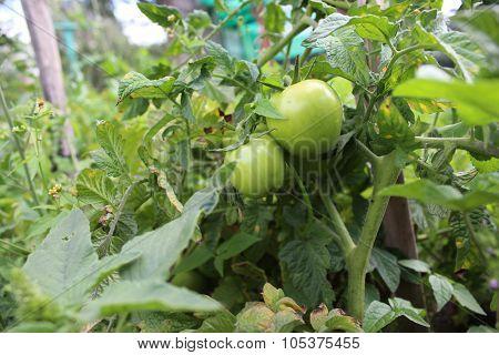 Unripe Tomato Plants