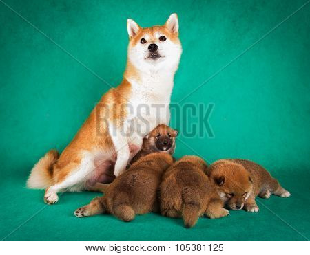 Shiba Inu sits on a green background with puppies