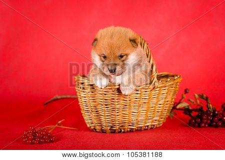 Shiba Inu sits on a red background in the basket