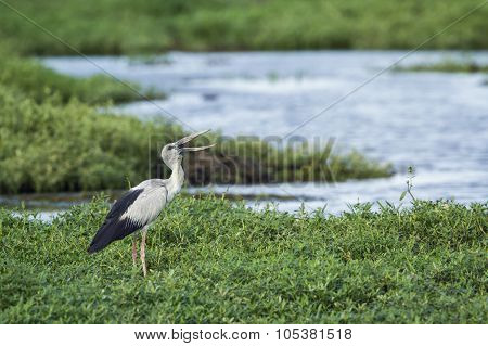 Asian Openbill In Bundala National Park, Sri Lanka