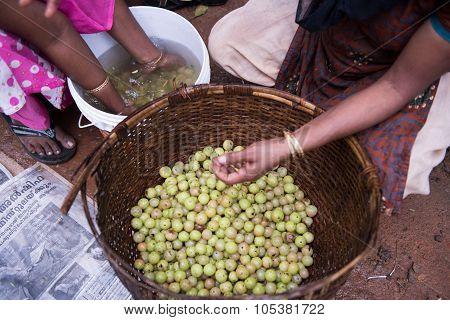 Indian Gooseberries in Spice Garden