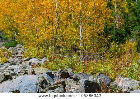 Wild Marmot Fall Foliage Colorado