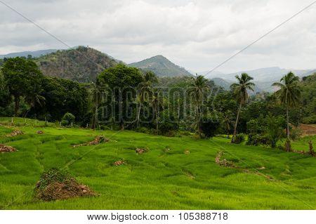 Paddyfields In A Rural Landscape