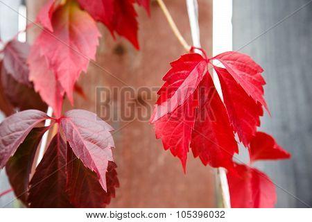 Autumn Bindweed On The Wood Fence