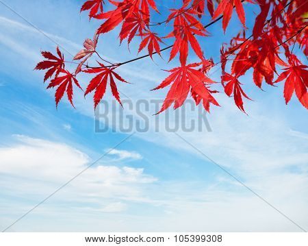 Red Autumn Leaves against blue sky