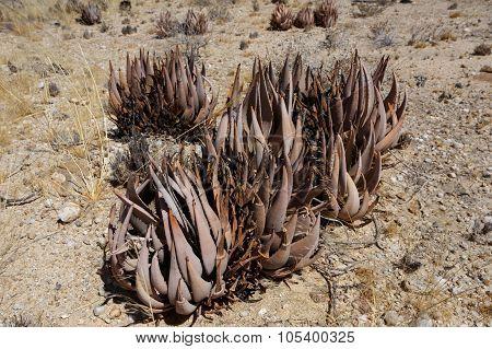 Flowering Aloe In The Namibia Desert