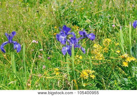 Background Of Different Herbs And Flowers Of Iris