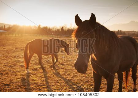 Horses Grazing At Sunset