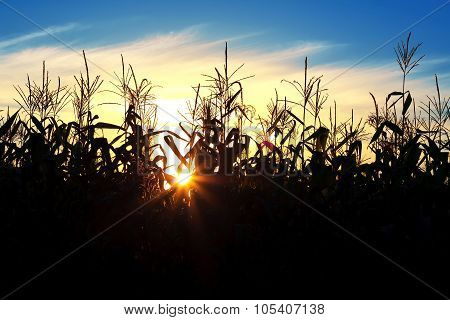 Sun Shining Through The Corn