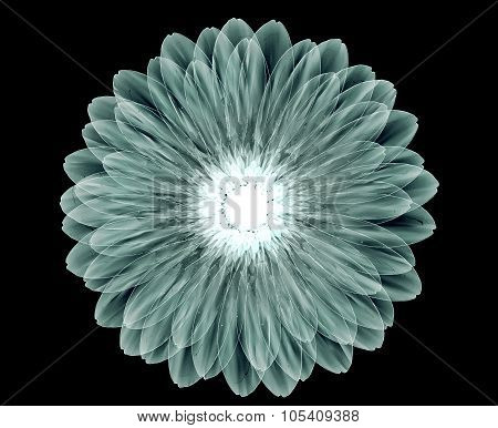 X-ray Image Of A Flower Isolated On Black , The Gebera