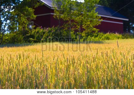 Oats Fields With A Fragment Of Farmer House, Nothern Europe.