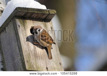 At Winter Finishing Tree Sparrow Investigates Possible Nest Facilities