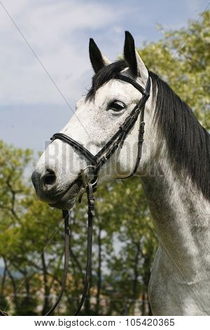 Portrait Of A Fleabitten Grey Horse With Leather Harness