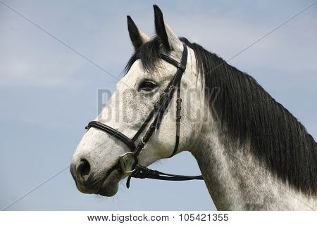 Beautiful Fleabitten Grey Horse With Leather Harness In Summer Corral