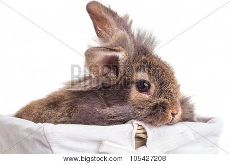 Close up of a cute lion head rabbit bunny sitting in a wood basket.