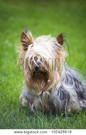 Mini Yorkshire Terrier Pup Playing