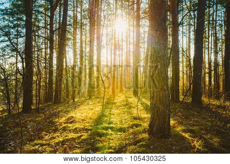Sunset Sunrise In Spring Coniferous Forest Trees. Nature Woods