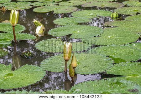 White Lotus Waterlily