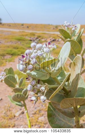 Calotropis procera (Asclepiadaceae) in south region of Morocco