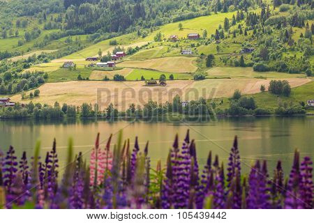 Red Houses And Lupines