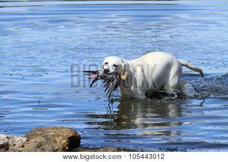 Nice Yellow Hunting Labrador Retrieving