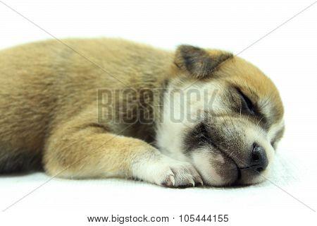 Puppy Falling Asleep