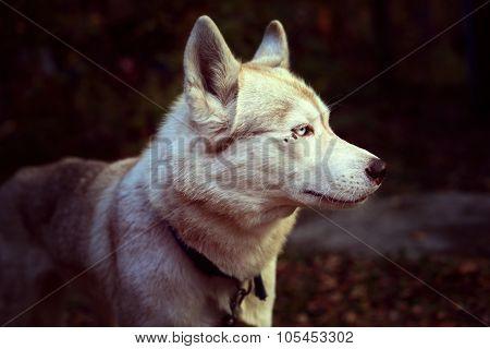 Pale yellow dog breed Siberian Husky