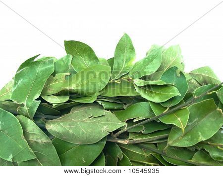 Bay Leaf Branches