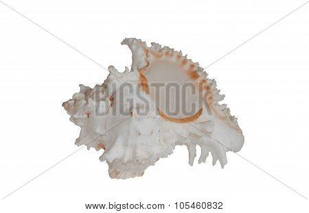 Sea shell isolate