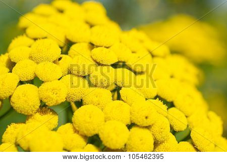 Flowers Of The Tanacetum Vulgare.