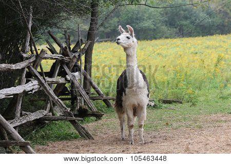 Llama, Domesticated