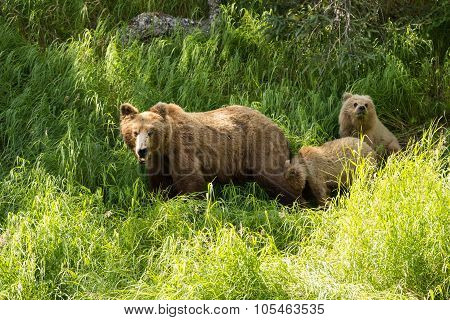 grizzly bear cub in Katmai National Park, Alaska