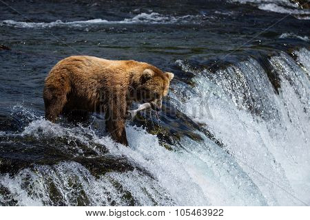 Grizly Bears at Katmai National Park, Alaska, USA