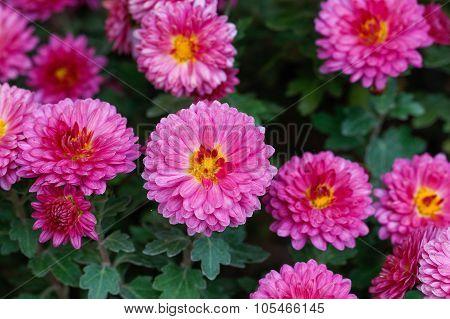 Chrysanthemum flowers.