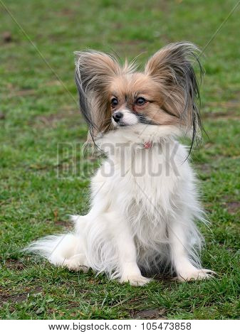 Typical Young Papillon Dog In The Garden