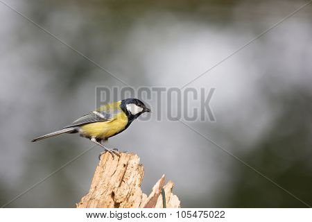 Great tit at moss in forest